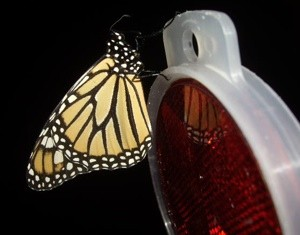 Wildlife: Monarch Butterfly
