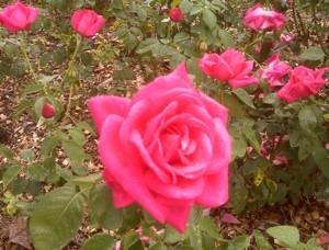 Garden Roses Thriftyfun