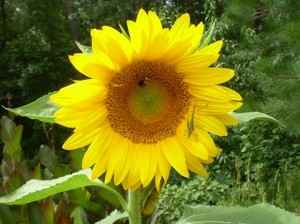 Garden: Sunflower and Friends