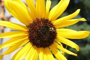 Garden: Bee on a Sunflower