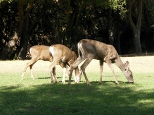 Wildlife: Deer in Topanga State Park (CA)