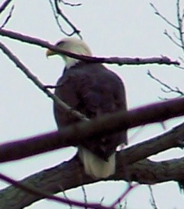 Wildlife: Bald Eagle (Cortland, OH)