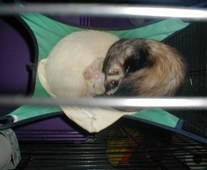 Scooter and Rascal (Ferrets)