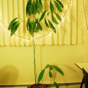 Pruning an Avocado Plant