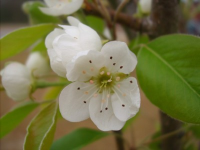 Garden: Pear Blossoms