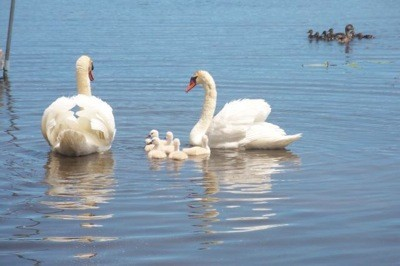 Wildlife: Swans (Mullet Lake, MI)