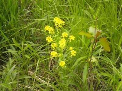 Scenery: Yellow Wildflowers (MI)