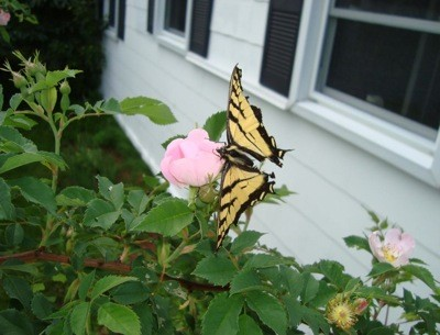 Garden: Butterfly On Rose