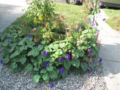 Garden: Morning Glory in Bloom