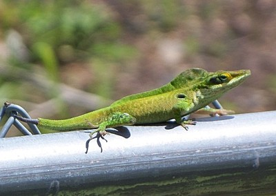 Wildlife: Lizard (Alabama)