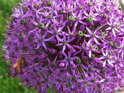 Garden: Bee On Allium Flower