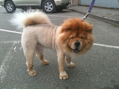 chow chow lion haircut image search results