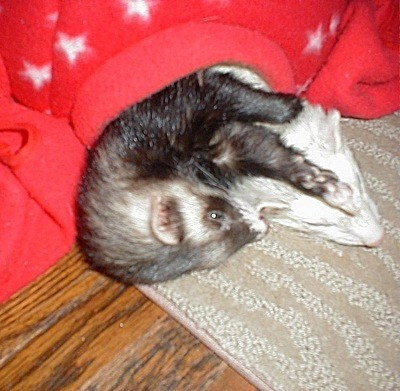 Scooter and Rascal (Ferrets)<br class=