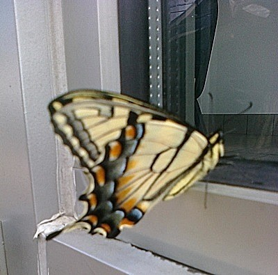 Wildlife: Swallowtail Butterfly