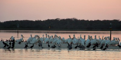 Wildlife: Pelicans (Cedar Key, FL)
