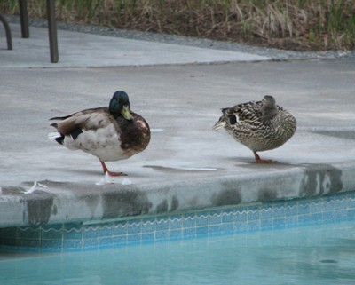 Wildlife: Ducks