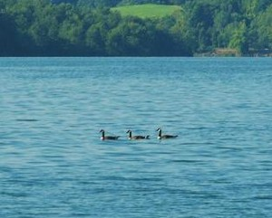 Wildlife: Canada Geese