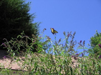 Garden: Monarch on Butterfly Bush