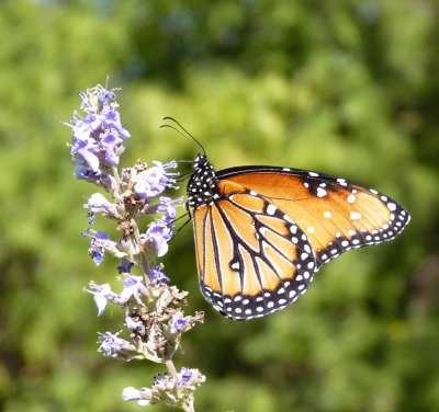 RE: Garden: Monarch on Butterfly Bush
