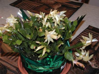 RE: Christmas Cactus In Bloom