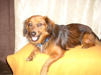 RE: Dachshund/Pomeranian Mix Photos