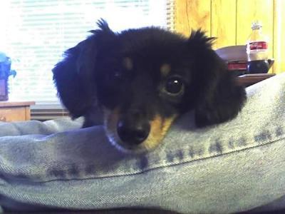 Half Pomeranian half Dachshund | Female, Male Dachshund Puppy For Sale ...