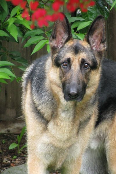 RE: Hunter (German Shepherd)
