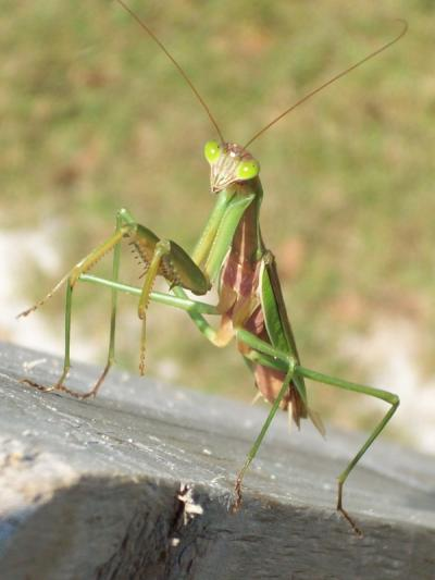 RE: Garden: Praying Mantis