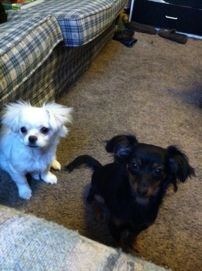 Tazz on Tazz Chihuahua Miniature Pincher Thriftyfun