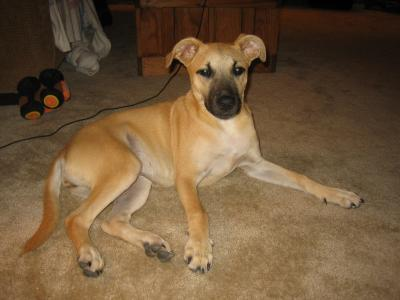Boxer German Shepherd Pitbull Mix Images & Pictures - Becuo