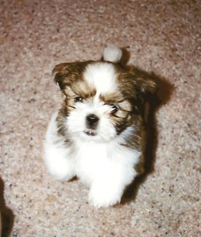 RE: Shih Tzu Puppy Not Eating