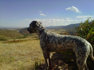 RE: Angel (German Short-haired Pointer/Dalmatian)