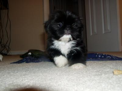 RE: Dark Colored Shih Tzu. Posted on 10/23/2008 | Report Spam or Abuse