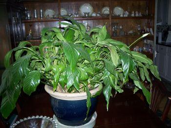 RE: How to Get Peace Lily to Bloom