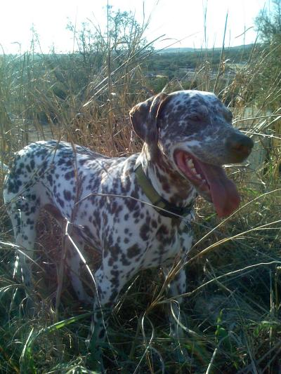 RE: Angel (German Shorthaired Pointer/Dalmation)