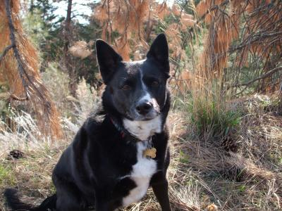 My dog's name is Lady too. AND she is a border collie/blue heeler too ...