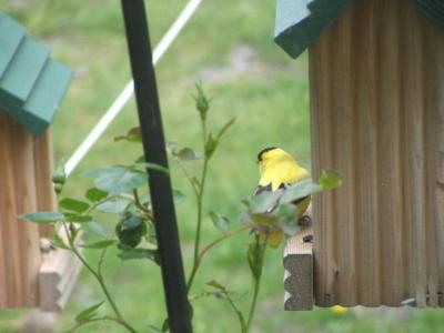 RE: Yellow Finch
