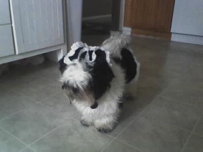 shihtzu dogs