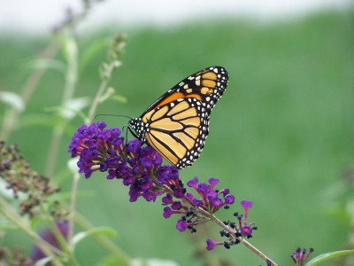 RE: Wildlife: Monarch Butterfly