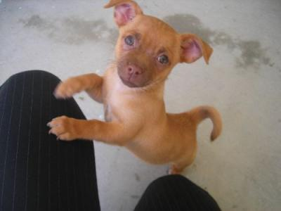 Weiner Dog Mix with Chihuahua
