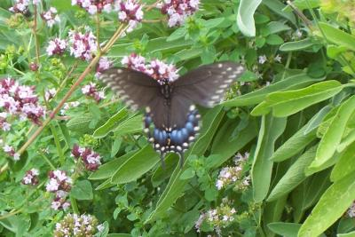 RE: Garden: Black Swallowtail Butterfly