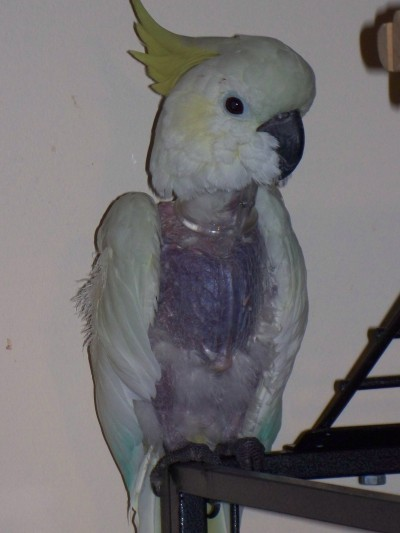 RE: Parakeet Is Losing Its Feathers