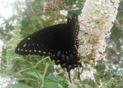 RE: Eastern Tiger Swallowtail Butterfly