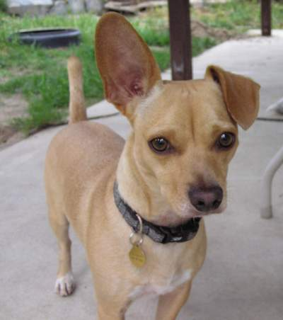 Go Back > Gallery For > Chihuahua Mix With Weenie Dog