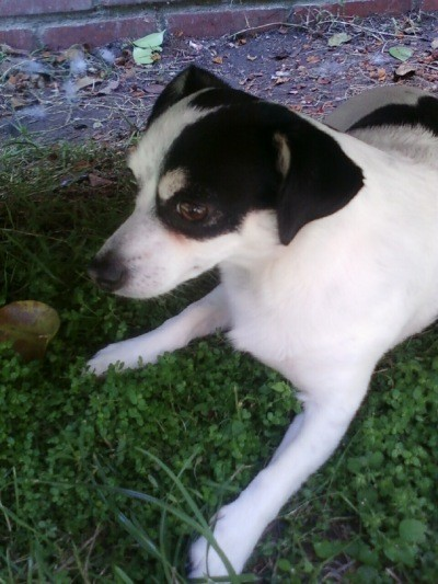 RE: Toby (Jack Russell Terrier/Rat Terrier)