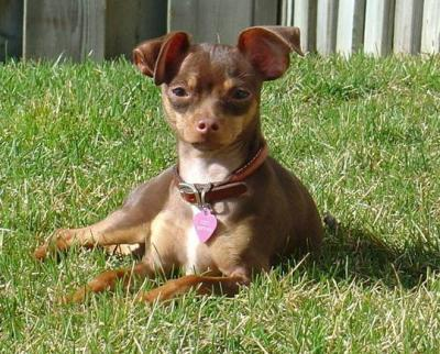 RE: Miniature Pincher / Chihuahua Mix