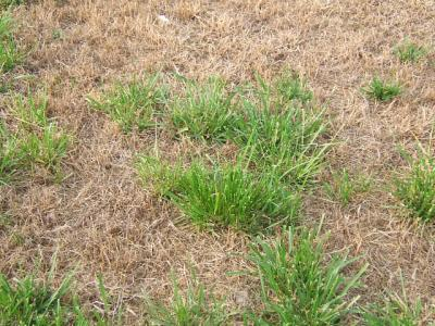 RE: What Do I have... Crabgrass?