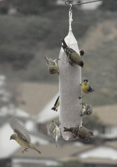 RE: Feeding Yellow Finches