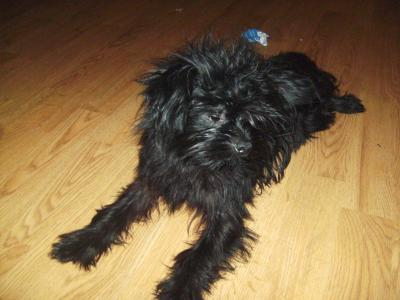 RE: Pom Shih Tzu Mix Breed
