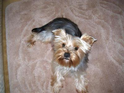 RE: What's a Good Yorkie Hair Cut?